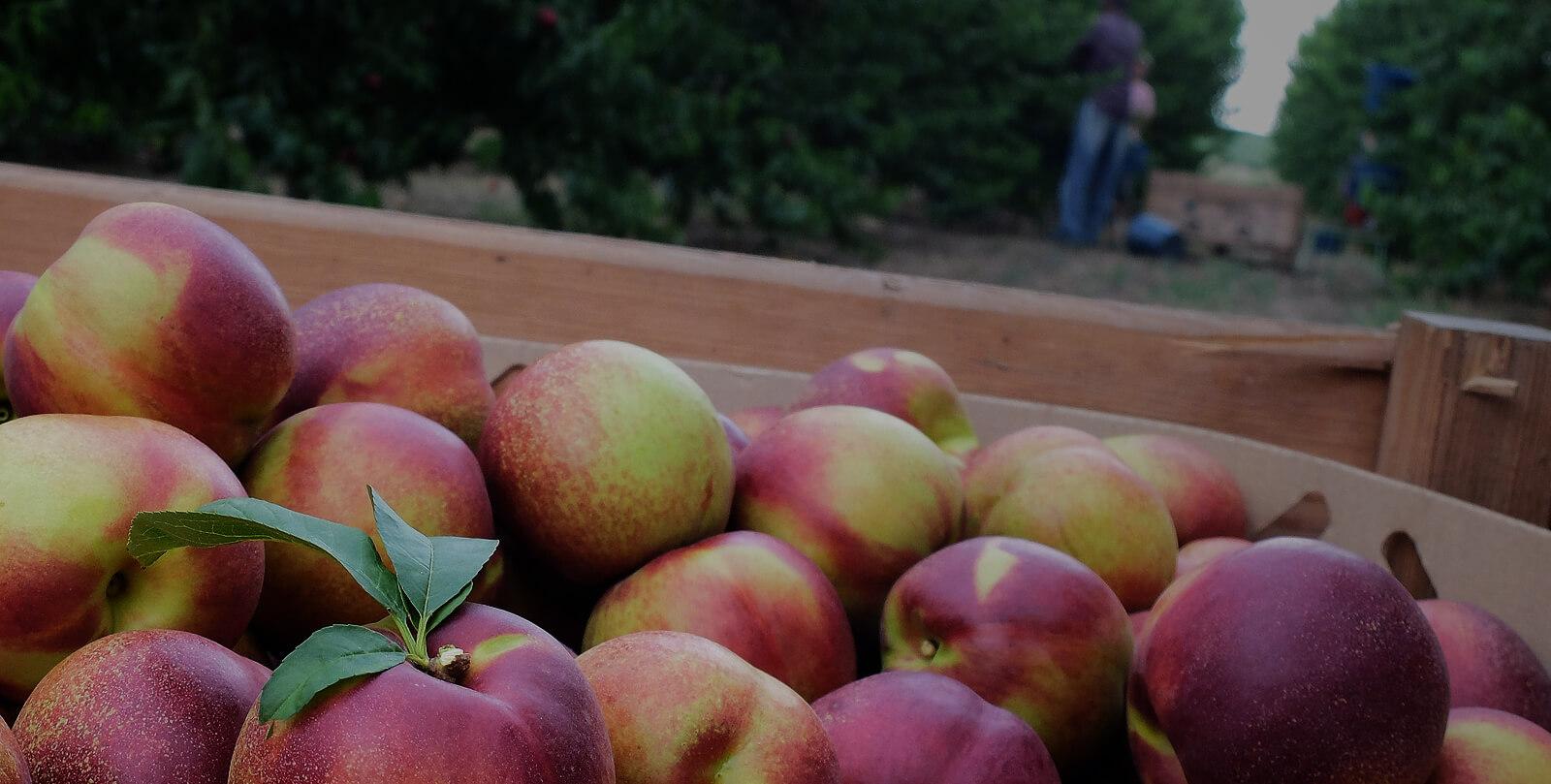 conjuntfruit
